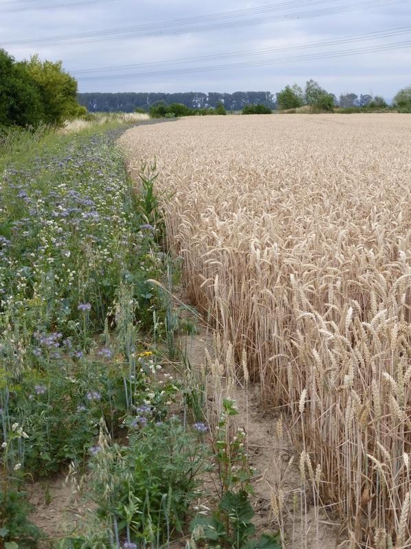 Agrarumweltmaßnahmen sind ein wichtiges Instrument der Gemeinsamen Agrarpolitik der Europäischen Union. Landwirte verpflichten sich, bestimmte Auflagen bei der Bewirtschaftung ihrer Anbaufläche einzuhalten. Das kann beispielsweise das Anlegen von Blühstreifen an Feldrändern sein.