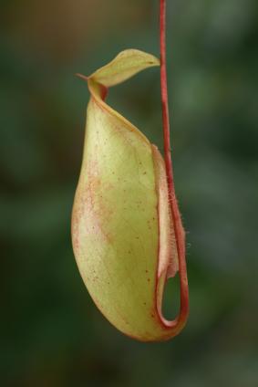 Nepenthes sanguinea (Quelle: © iStockphoto.com/ dangdumrong)