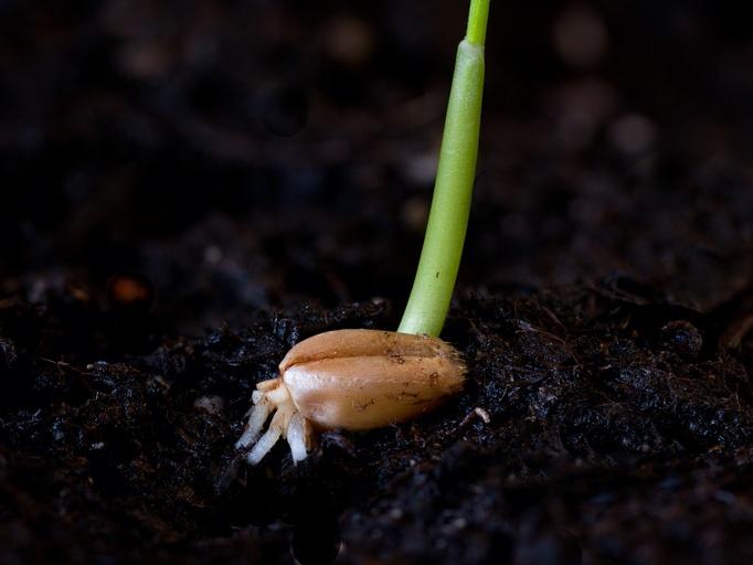 Während ihrer frühen Embryonalentwicklung muss eine Pflanze festlegen, wo später der Spross und wo die Wurzel entstehen soll. (Quelle: © Rebel - Fotolia.com)