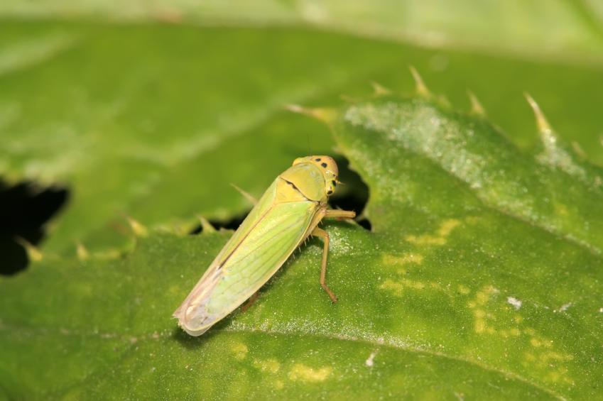Zikaden transportieren Phytoplasmen von Pflanze zu Pflanze. Von grünen, blütenlosen Pflanzen lassen sie sich besonders gerne anlocken.