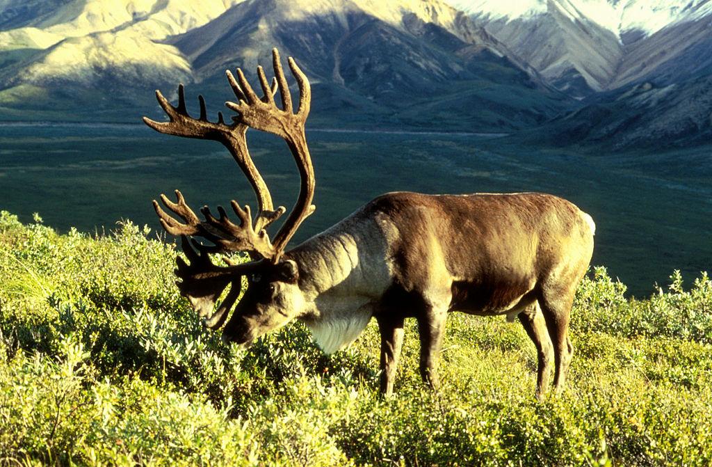 Im gefrorenen Karibukot fanden Forscher in Nordkanada die DNA und RNA zweier Viren. Sie vermuten, dass der nordamerikanische Verwandte des Ren diese über die Nahrung aufgenommen hat.