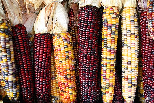Springende Gene (Transposons) sind als Mutationsfaktoren bekannt, welche die Eigenschaften von Genen beeinflussen, wie z. B. hier die Farbe der Maiskörner.