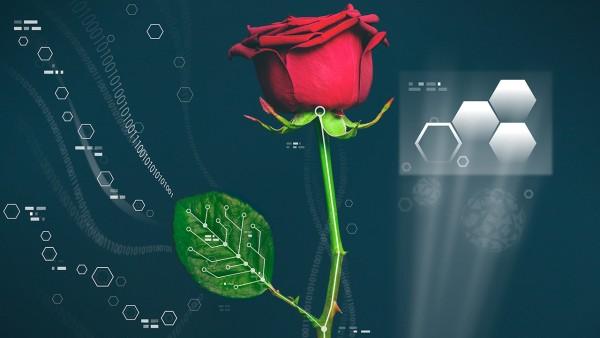 In einer Rose etablierten Forscher einen elektronischen Polymer-Leiter im Stiel und ein Display in den Blättern. (Bildquelle: © Linköping University)