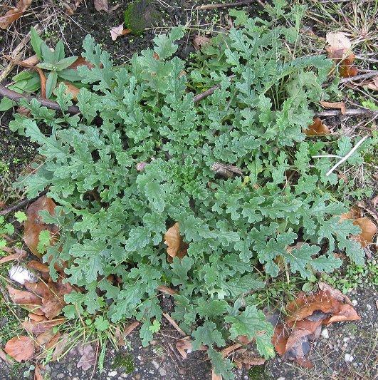 Die Blätter des Jakobskrauts sind denen von Rucola-Salat sehr ähnlich.