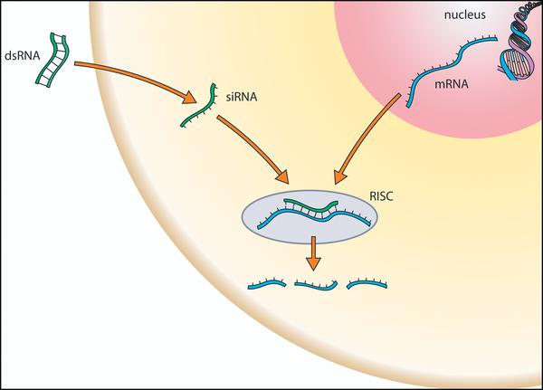 Schematische Darstellung der RNAi - Die Hemmung der Translation durch miRNAs findet im rauen Endoplasmatischen Retikulum statt.