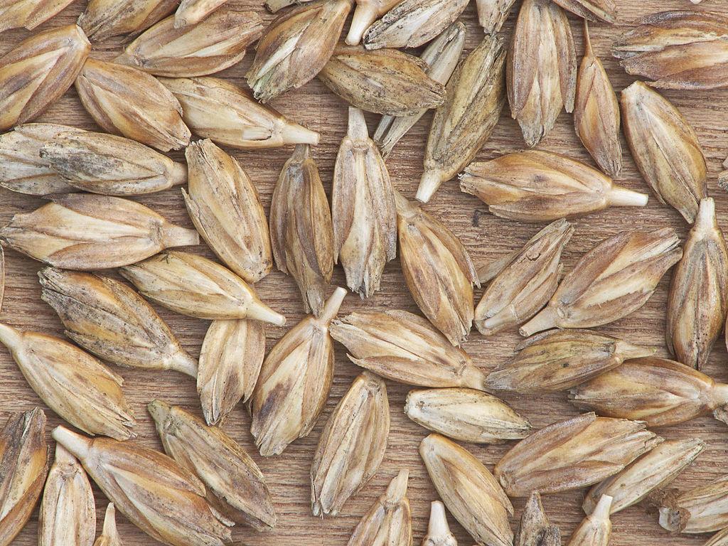 Emmer, auch Zweikorn genannt, gehört zu den ältesten kultivierten Getreidearten überhaupt. (Bildquelle: © Rasbak/ wikimedia.org/ CC BY-SA 3.0)