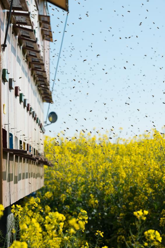 Bienenstöcke an einem Rapsfeld: Bienen gehören zu den wichtigsten Bestäubern für Raps und andere Nutzpflanzen.