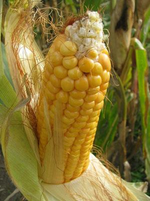 Mit Genomanalysen und Stoffwechselprofilen berechnen Wissenschaftler gute Eltern beim Mais. (Quelle: © Ruth Rudolph/ pixelio.de)