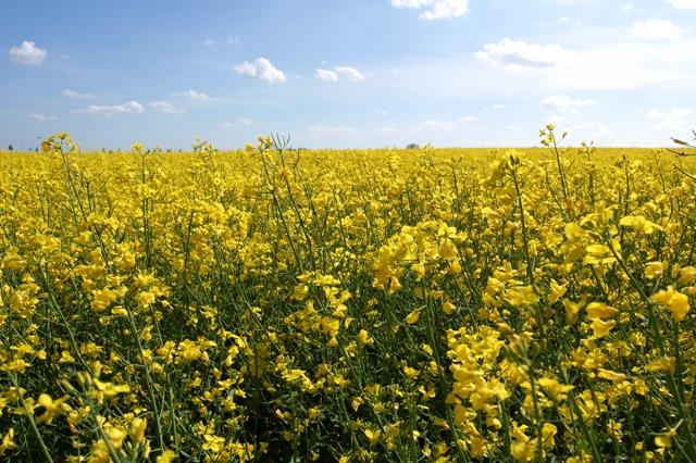 In Deutschland wird auf 910.000 ha Raps für die Biodieselproduktion angebaut.
