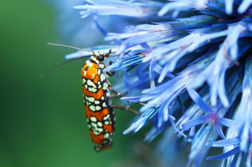 Die weiblichen Gespinstmotten senden Pheromone aus mit denen sie die Männchen anlocken. In der Landwirtschaft dienen Pheromone schon lange dazu, Insekten anzulocken oder von der Paarung abzuhalten. (Bildquelle:© iStock.com / diane555)