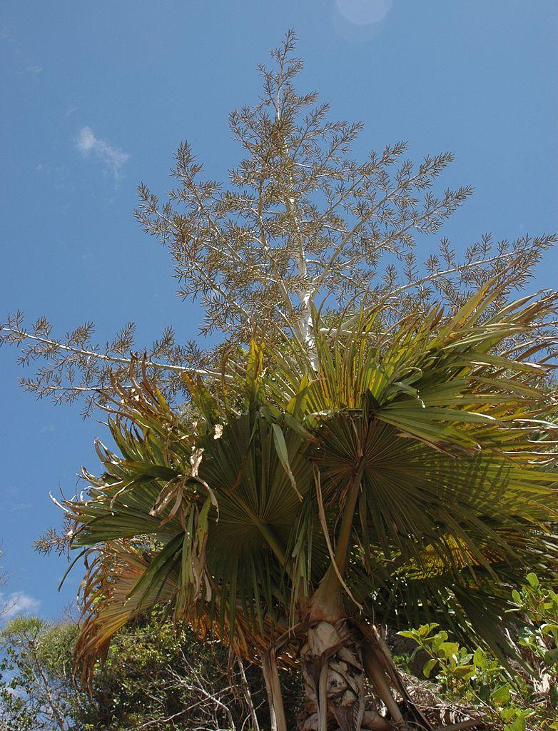 Die Palme Tahina spectabilis kurz vor der Blüte.