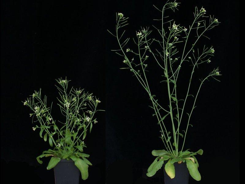 Unterschiedliche Wuchsformen der Ackerschmalwand (Arabidopsis thaliana): Links eine Pflanze mit einer Veränderung im GA20ox1-Gen, rechts eine ohne Mutation.