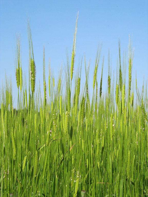 Wildpflanzen wie Einkorn dienen Züchtern als wichtige Quellen für Resistenzgene.