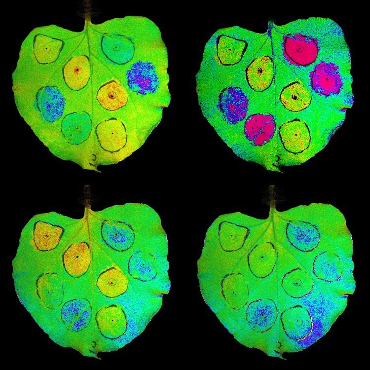 Tabakblätter mit vorübergehender Überexpression von Genen, die an nichtphotochemischem Quenching (NPQ) beteiligt sind - ein System, das Pflanzen vor Lichtschäden schützt. Die roten und gelben Regionen stellen eine niedrige NPQ-Aktivität dar, während blaue und purpurne Bereiche hohe Niveaus zeigen, die durch Einwirkung von Licht induziert werden.