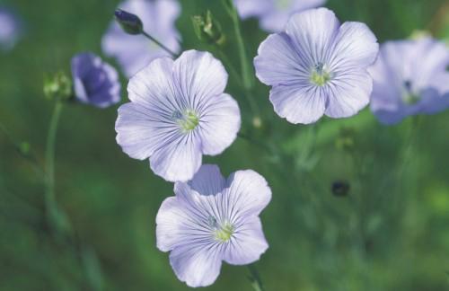 Obwohl Lein – auch Flachs – genannt, hierzulande gut wächst, sind heimische Bio-Leinsamen eine Besonderheit.