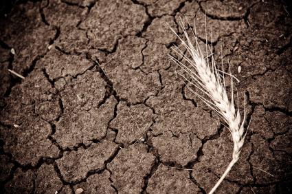 Kennt man die genetische Information des Weizens, kann man Sorten züchten, die angepasster sind und somit toleranter gegenüber suboptimalen Bedingungen, wie beispielsweise Trockenheit.
