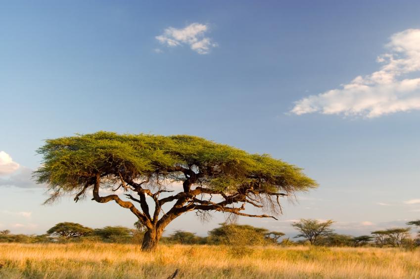 Den Ökosystemen unseres Planeten stehen umfangreiche Änderungen bevor. So könnten sich z.B. heutige tropische Wälder in Savannen umwandeln. (Quelle: © iStockphoto.com/ ajsn)