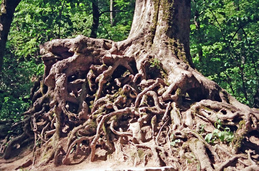 Die Ausbildung eines Wurzelsystems ist eine komplexe Angelegenheit. Seitenwurzeln entstehen, weil ein lokales Auxinmaximum die Wachstumsrichtung vorgibt. (Bildquelle: © Christiane Ginschel / pixelio.de)