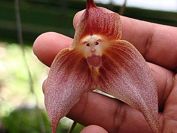 Affen-Orchideen täuschen nicht nur uns Menschen: Fliegen fallen jedoch nicht auf ihre Affengesicht, sondern ihr pilzähnlichen geformtes Blütenblatt in der Mitte (für uns das Affenmaul) hinein.