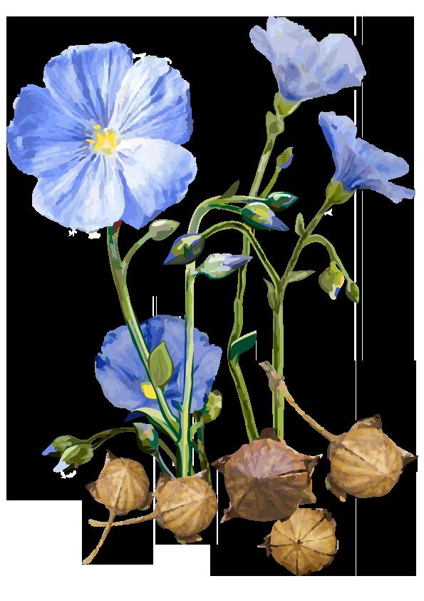 Pflanze: Flachs