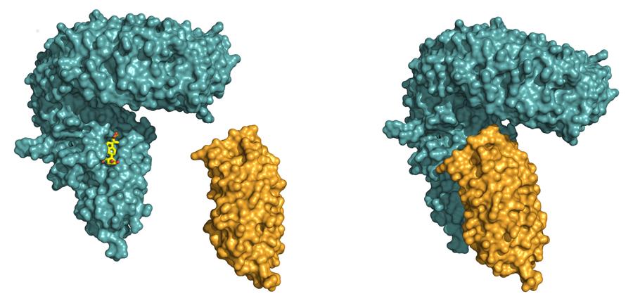 Aktivierung des pflanzlichen Brassinosteroid-Signalweges. (Links) Röntgenstrukturmodell der LRR-Domäne des Rezeptors BRI1 (in blau). Im ersten Schritt bindet BRI1 das Steroidhormon (in gelb) in einer Tasche an seiner Oberfläche. Danach kann dann die kleinere LRR-Domäne des Hilfsrezeptors (in orange) gebunden werden, das Hormon hält die beiden Eiweiße wie ein Klebstoff zusammen (Rechts).