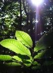 Licht ist auch für die pflanzliche Abwehr von großer Bedeutung (Quelle: © Angelina Ströbel / PIXELIO - www.pixelio.de)