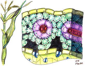 Schematischer Querschnitt eines Blattes einer C4-Pflanze (Mais). Gelb: Epidermiszelle; türkis: Mesophyllzelle, rosa: Bündelscheidenzellen, von den Mesophyllzellen umgeben; rot: Leitbündel; blau: Spaltöffnungen, auf der Blattunterseite.