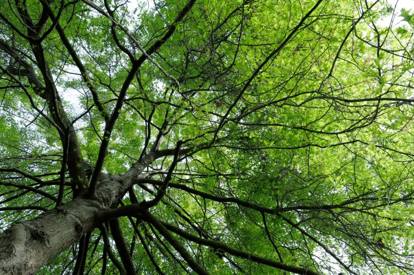 Was bringt beispielsweise Eichen dazu, ihre Zweige in diesen charakteristischen Winkeln auszurichten und diesen Winkel trotz der Schwerkraft zu halten? (Quelle: © iStockphoto.com/ hmlCA)