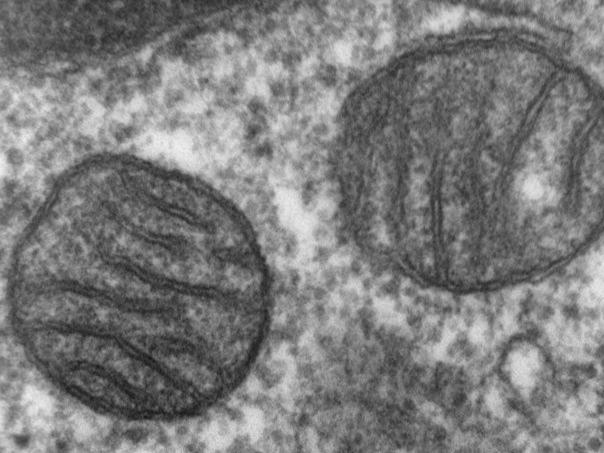 Mitochondrien sind die Kraftwerke von eukaryotischen Zellen. (Bildquelle: Louisa Howard/wikimedia.org; gemeinfrei)