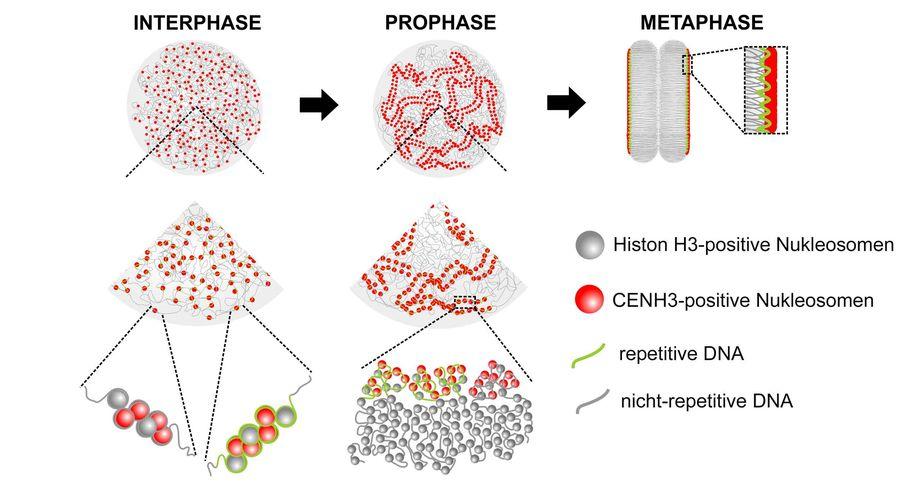 Zellzyklus-abhängige Änderungen in der holozentromerischen Chromatin-Organisation von Rhynchospora pubera: Während der Interphase liegen die Holozentromere weit verstreut auseinander. Während der Pro- und Metaphase finden sie entlang der Schwesterchromatiden zusammen.
