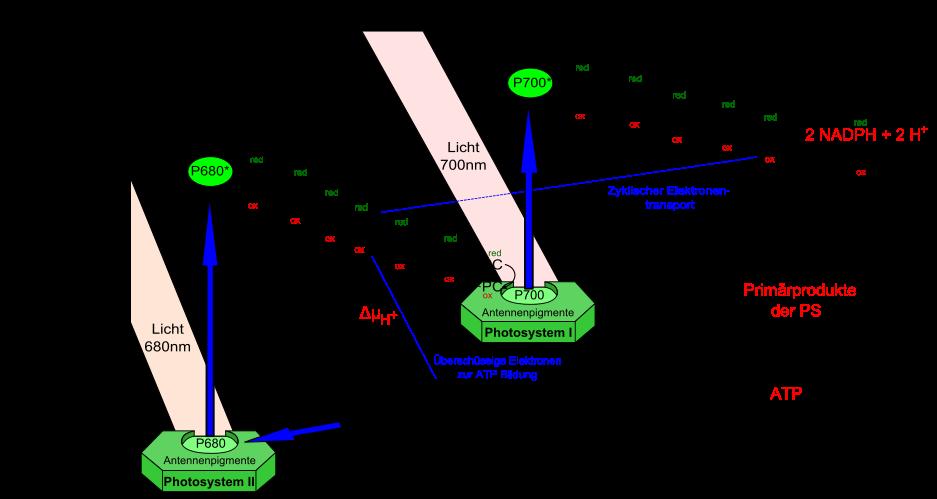 Beim zyklischen Elektronentransport ist nur das Photosystem I beteiligt. Die Elektronen werden in einem geschlossenen Kreislauf wieder zum Photosystem I transportiert. Hierbei entsteht kein NADPH, sondern nur ATP.