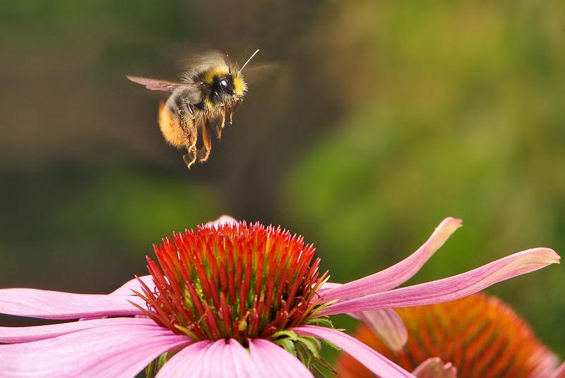 Hummel im Anflug auf eine Blüte: Die Veränderungen durch den Klimawandel machen den Hummeln stark zu schaffen. (Bildquelle: © Bernie/wikimedia.org; gemeinfrei)