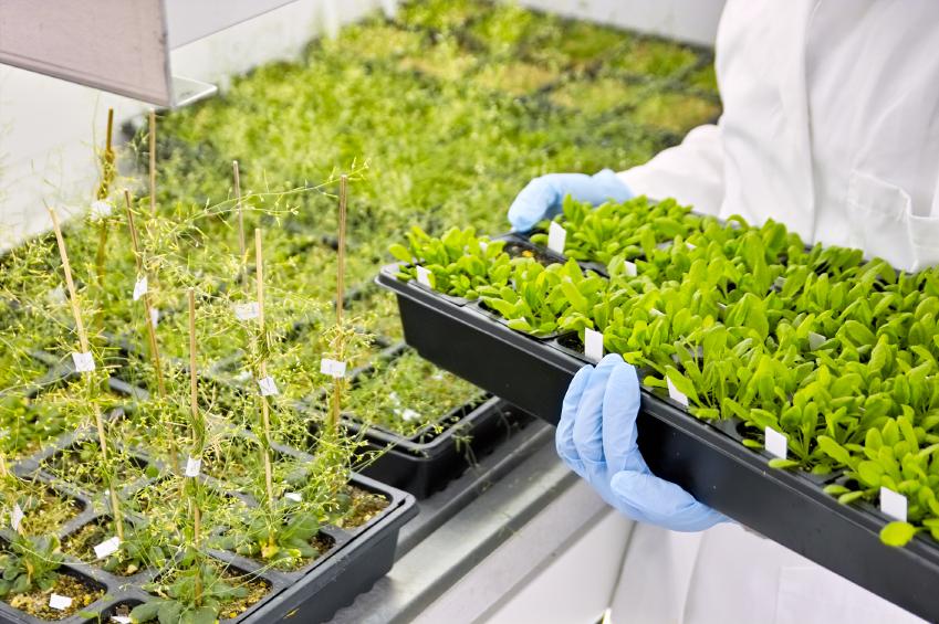Die Versuchspflanze Arabidopsis thaliana wird auch Ackerschmalwand genannt. (Bildequelle: © iStock.com/pkujiahe)