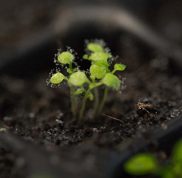 Anhand der Modellpflanze Arabidopsis thaliana haben Wissenschaftler den Aufbau und die Unterschiede des Immunsystems innerhalb einer Pflanzenart untersucht.