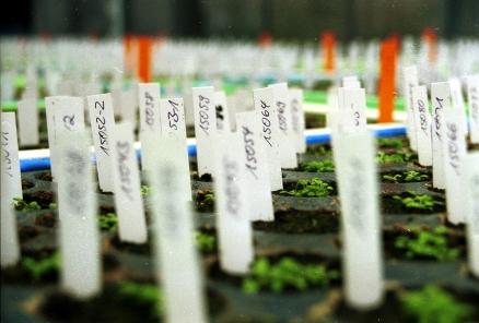 Wichtige Vorteile von Arabidopsis sind der geringe Platzanspruch und schnelle Generationszeiten.