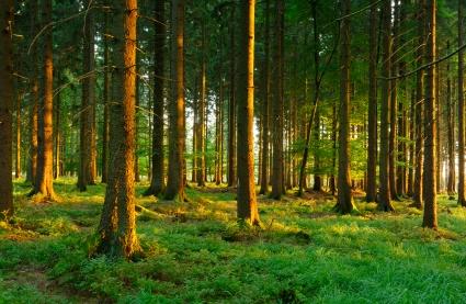 Bislang erschwert der lange Züchtungszyklus der Waldbäume deren Kultivierung.