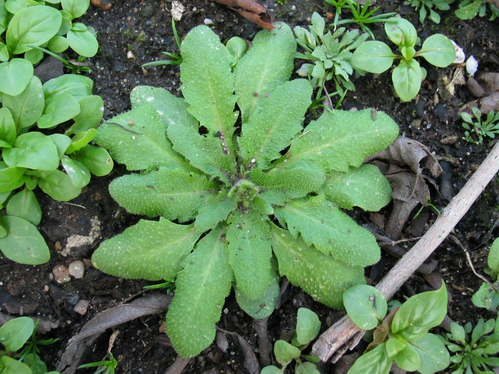 Am Beispiel von Arabidopsis erstellen Forscher das erste Gen-Interaktiom einer Pflanze (Quelle: © Qgroom / wikimedia.org; gemeinfrei).