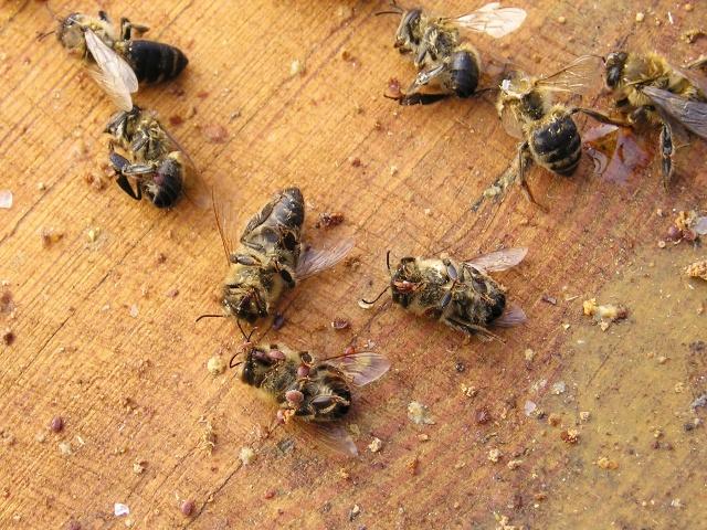 Tote Bienen durch starken Varroamilben-Befall.