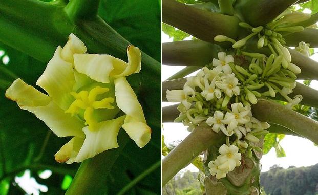 Es gibt weibliche (Blüte links), männliche (Blüte rechts) und zwittrige Papayapflanzen.