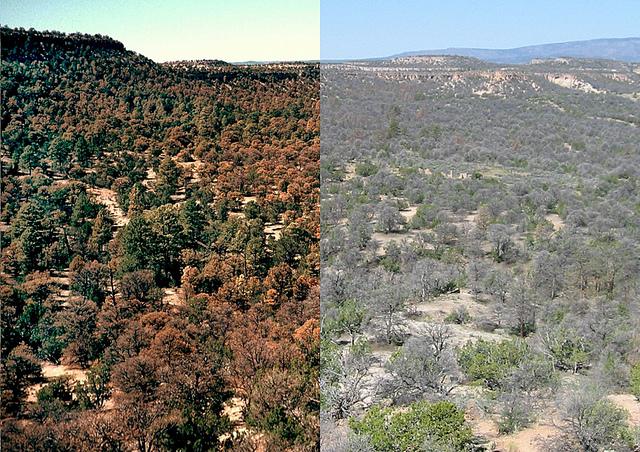Pinyon Kiefernwälder in der Nähe von Los Alamos, N.M., hatte bereits im Jahr 2002 begonnen sich bedingt durch Trockenstress braun zu verfärben (Bild links). Ein weiteres Foto wurde im Jahr 2004 (Bild rechts) aus dem gleichen Blickwinkel aufgenommen, es zeigt die Pflanzen weitgehend grau und tot. (Quelle: © Craig Allen, U.S. Geological Survey)