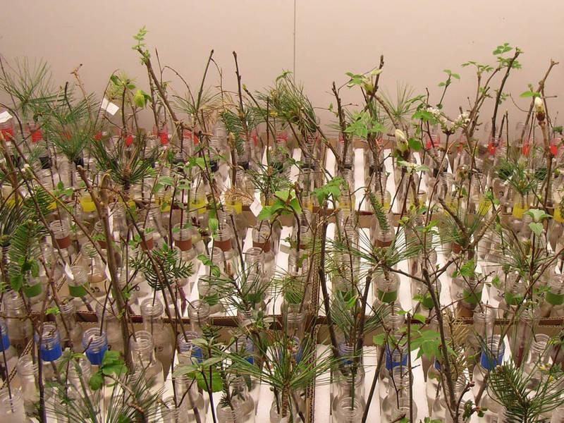 In einer Klimakammer untersuchten die Wissenschaftler die Zweige der 36 Baum- und Straucharten bei unterschiedlichen Temperaturen und Lichtbedingungen.