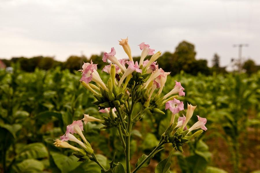 Tabakpflanzen können Lipopolysaccharide eigentlich nicht erkennen. Stattet man sie allerdings künstlich mit LORE aus, gelingt ihnen das ebenso gut wie den Kreuzblütlern. (Bildquelle: © Harald Schottner / pixelio.de)
