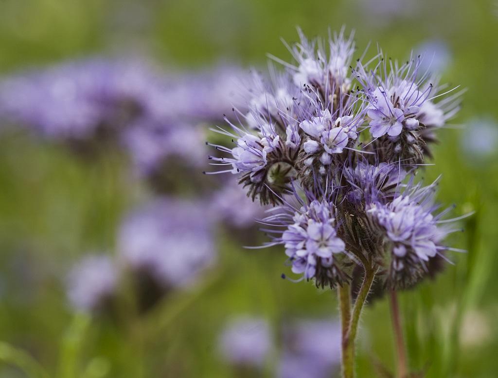 Phacelia, auch Bienenweide genannt, gilt als Bodenverbesserer. Ihr dichtes Wurzelsystem sorgt für eine effiziente Aufnahme von Nährstoffen, die nach dem Verottten der Nachfolgefrucht zur Verfügung stehen.