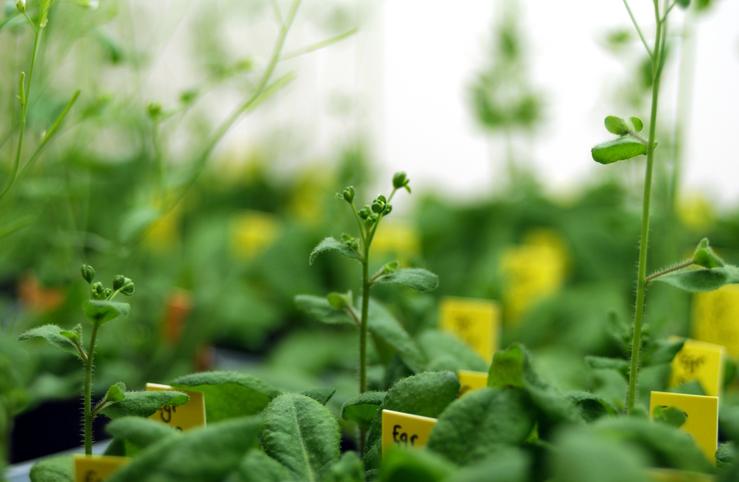 Eine von vier Modellpflanzen, bei der die neue Software auf die Suche nach MicroRNA (miRNA) ging: Arabidopsis thaliana (Bildquelle: © Carl Davies / CSIRO/ CC BY 3.0)
