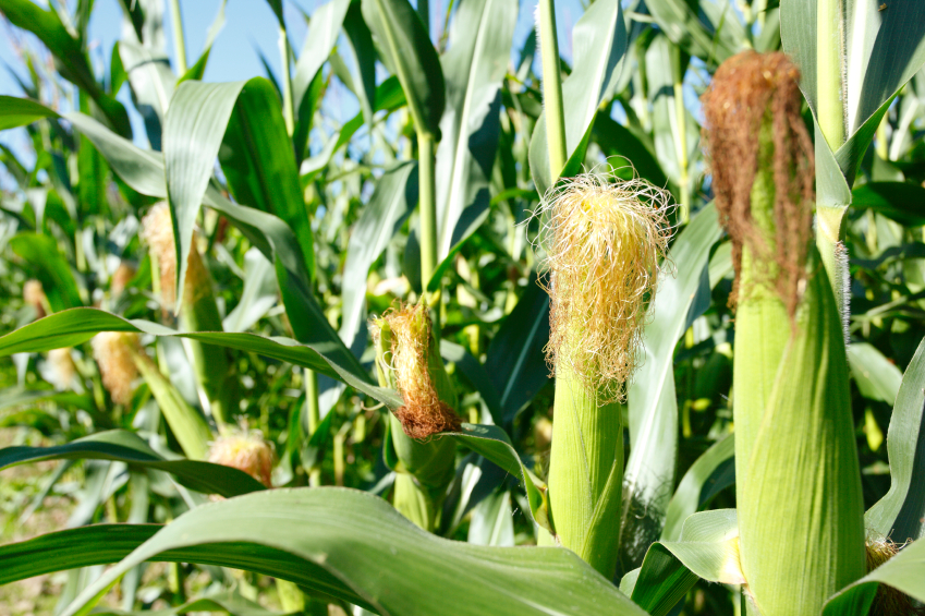 Auch Nutzpflanzen wie der Mais sind zunehmend vom Klimawandel betroffen. (Bildquelle: © iStock.com/pkripper503)