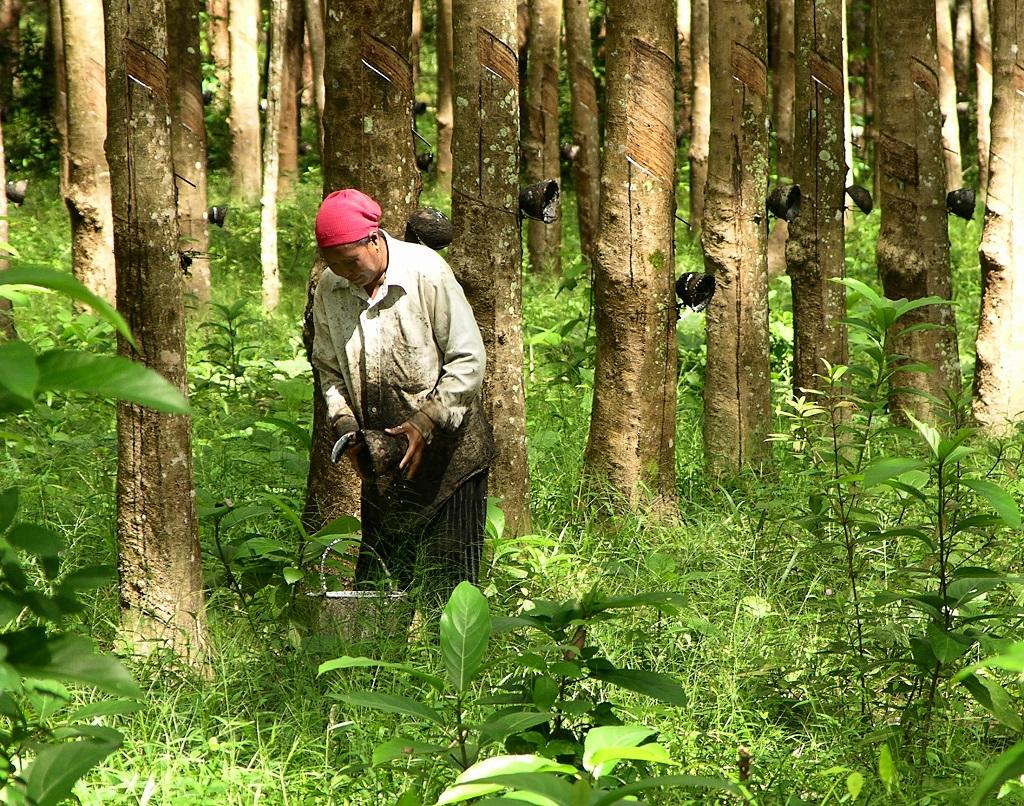 im Vergleich mit ihren Kollegen in Äthiopien, Kenia oder Malawi bauen die indonesischen Kleinbauern viel weniger Pflanzensorten an. Ein Großteil sogar nur eine einzige: Kautschuk.