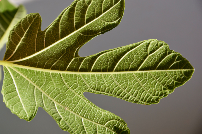 Leitgewebe, wie die Blattadern dieses Feigenblattes, durchziehen den gesamten Pflanzenkörper und versorgen sie mit Wasser und Salzen aus dem Boden. (Bildquelle: © C. Schwechheimer/ TUM)