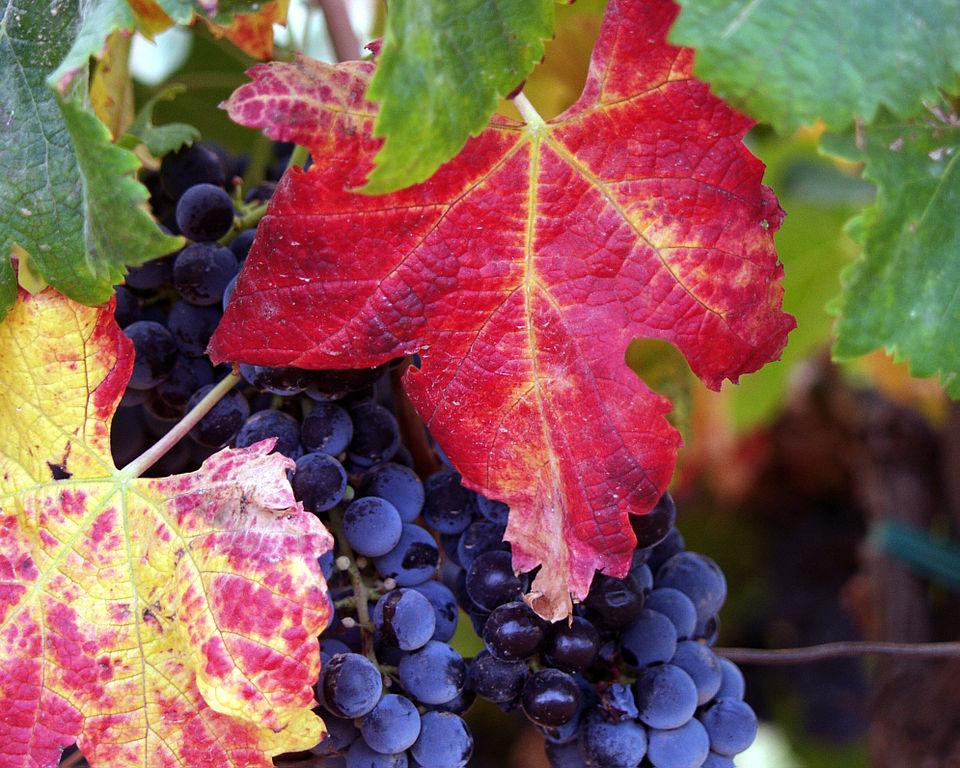 Flavonoide sind für die Qualität von Rotwein wichtig. (Quelle: © Tomas Castelazo / wikimedia.org; CC BY-SA 2.5)