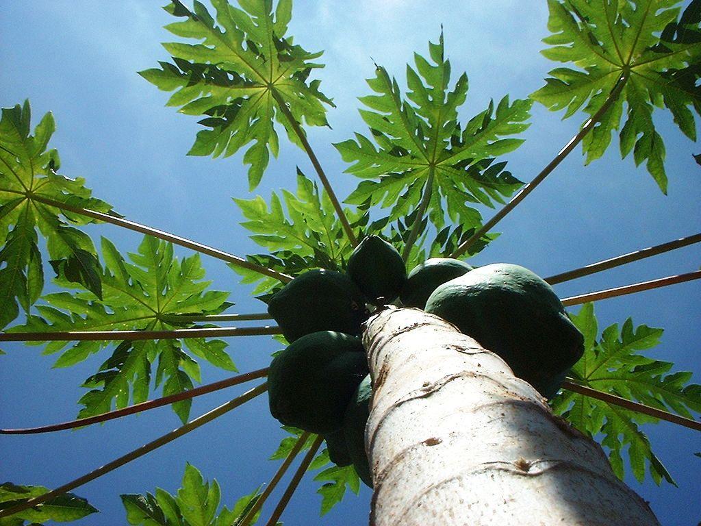 Die Papaya hat drei Geschlechter. (Quelle: © Jagbot / wikimedia.org; CC BY-SA 4.0)