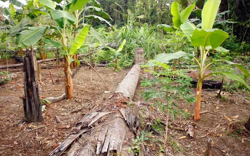 Bananenplantage auf ehemaliger Regenwaldfläche: Nach der Rodung bricht der Nährstoffhaushalt des Bodens in kurzer Zeit zusammen.